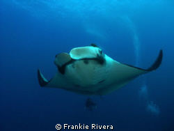 Giant Pacific Manta with my friend Pedro at San Benedicto... by Frankie Rivera