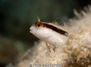 """Horozbina. A 5 cm small buddy, who is usually extremly """"n... by Rico Besserdich"""