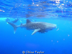 Whale Shark, Exmouth by Chloe Taylor
