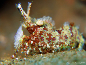 I was surprised to find this Marble Shrimp (Saron marmora... by Brian Mayes