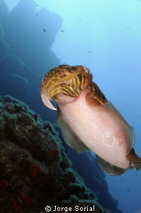 Cuttlefish by Jorge Sorial
