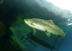 Brown Trout under the jetty at Capernwray by Paul Colley