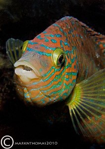 Corkwing wrasse under Trefor Pier. D3 60mm by Mark Thomas
