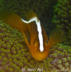 Skunk-striped anemonefish  (Amphiprion sandaracinos)  M... by Jorn Ari