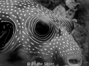 Pufferfish so close ... , taken with Canon G10 at El Quadim by Beate Seiler