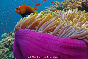 Anemonefish, the Maldives, hiding in a purple-skirted ane... by Catherine Marshall