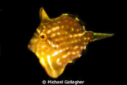 Pygmy leatherjacket - shot taken last week at Shelley Bea... by Michael Gallagher
