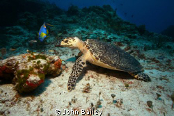 Hawksbill Sea turtle and Queen Angelfish by John Bailey