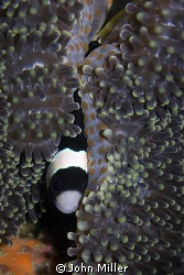 Hiding clown fish, taken on Canon 40D with 100mm macro le... by John Miller