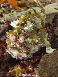 Frogfish on sabang wreck 1, mindoro island. Sealife DC1000 by Mish Bayoumi