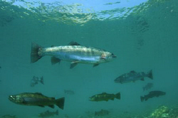 Schooling Brown & Rainbow Trout.  Mainly natural light wi... by Paul Colley