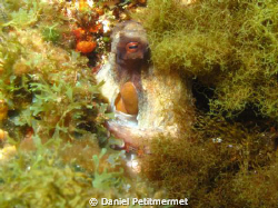 Well hidden octopus ! by Daniel Petitmermet