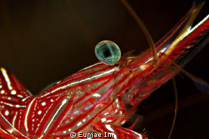 Durban Hinge-beak Shrimp. no cropping by Eunjae Im