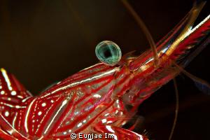 Durban Hinge-beak Shrimp. no cropping by Eunjae Im