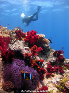 Clownfish with diver in background. by Catherine Marshall