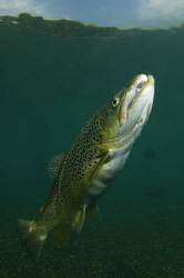 A Capernwray Brown Trout.  10-17mm lens with twin strobes... by Paul Colley