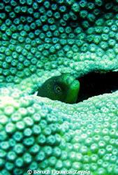 Spotted moray by Baruch Figueroa-Zavala