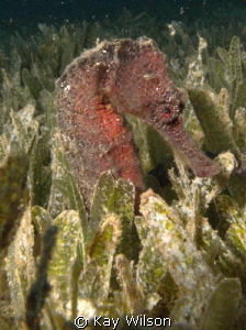 Long Snout Sea Horse. Sea and Sea DX1G / YS110a by Kay Wilson
