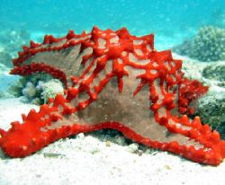 Brilliant red sea star, Ningaloo Reef by Penny Murphy