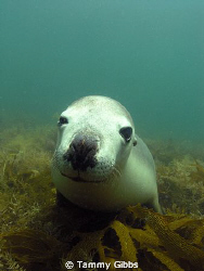 We dived with a group of gorgeous sealions at Jurien Bay,... by Tammy Gibbs