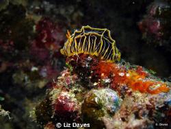Reticulidia Halgerda or Nudibranch by Liz Daves