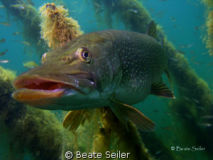 just  an other pike , taken with Canon S70 by Beate Seiler