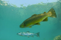 Brown & Rainbow Trout by Paul Colley