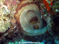 Octopus in its hole, well protected by Daniel Petitmermet