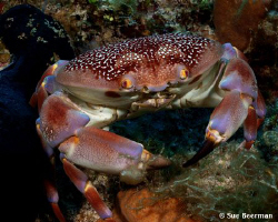 A batwing coral crab was out taking a stroll on the reef by Susan Beerman