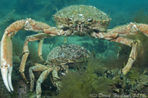 Spiny spider crabs. North Wales. D3, 60mm. by Derek Haslam