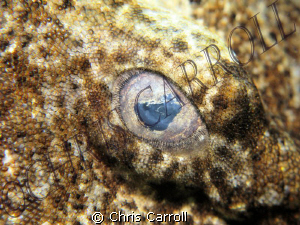 Close up of the eye of a dwarf ornate wobbegong shark - C... by Chris Carroll