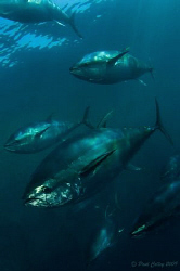 Schooling Tuna.  10-17mm wide angle lens with twin strobes. by Paul Colley