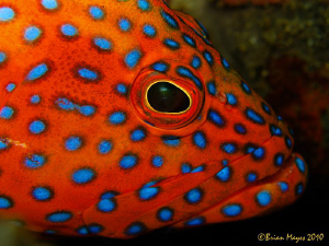 Coral Grouper (Cephalopholis miniata) by Brian Mayes