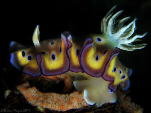 Nudibranch (Chromodoris kuniei) laying egg rose by Brian Mayes