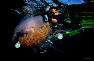 My mate Andrew getting some close up shots of a Jelly Fis... by Allen Walker