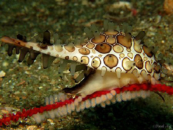 cowrie laying eggs by Paul Ng