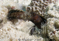Sailfin Blennies, fighting on a shallow sand patch, Utila... by Alasdair O'dell