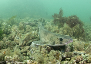 Lesser spotted dog fish. Menai straits. D3, 16mm+2xtc. by Derek Haslam