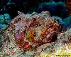Scorpion Fish in Bonaire by Susan Beerman