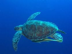Green Turtle. Lembeh, Indonesia.