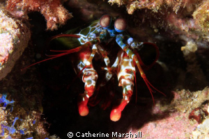 Mantis shrimp - shot with Canon 7D and 60mm macro lens. by Catherine Marshall