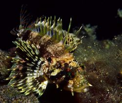 Hawaiian lionfish photographed at Nanakuli on the leeward... by Glenn Cummings