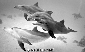 We were lucky enough to have these dolphins hanging aroun... by Paul Duxfield