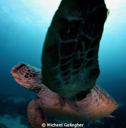 Talk to the flipper!! Turtle with attitude - Julian Rocks... by Michael Gallagher