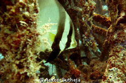 bat fish inside the house reef wrecks...