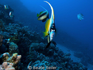Bannerfish taken at El Quadim with Canon G10 by Beate Seiler