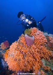 Colourful soft corals of the TAR Park, Nikon D2x 12-24mm ... by Richard Swann