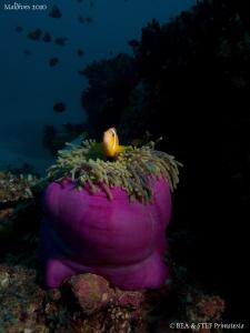 Clownfish. Canon G10, 12mm fisheye. by Bea & Stef Primatesta