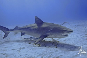 A Tiger Shark doing some sniffing at Tiger Beach - Bahamas by Steven Anderson