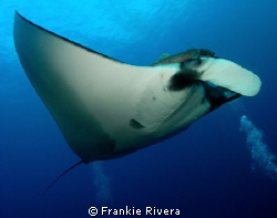 Friendly Pacific Manta @ San Benedicto Island, Revillagig... by Frankie Rivera